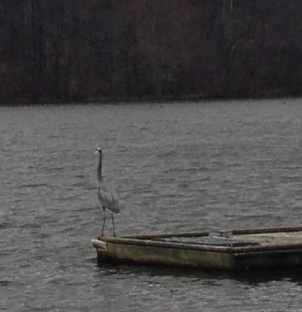 Great Blue Heron hanging out.